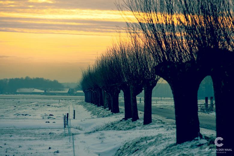 Knotwilgen - Silhouet van wilgen in een winters landschap, 's morgens vroeg tijdens de zonsopgang.