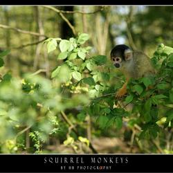 HB Squirrel Monkey