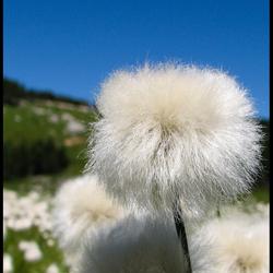 Wollegras Eriophorum scheuchzeri