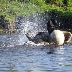 Canadese gans neemt een bad