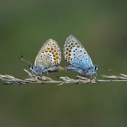 Heideblauwtjes / Zoomdag Heino