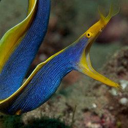 Blue Ribbon Moray Eel