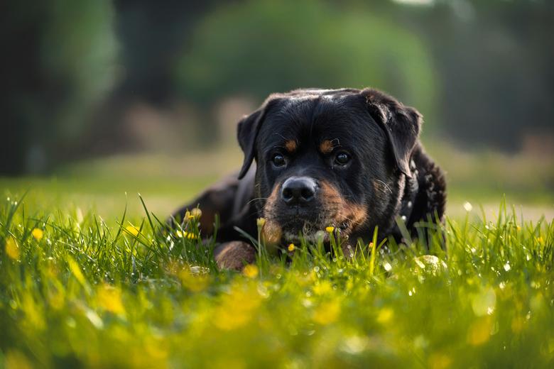 Rottweiler in het gras - Deze rottweiler is al 12 jaar oud en de eigenaren wilden nog wat mooie foto's hebben.