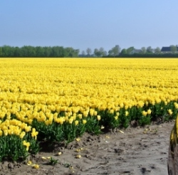 Tthe road to the tulips