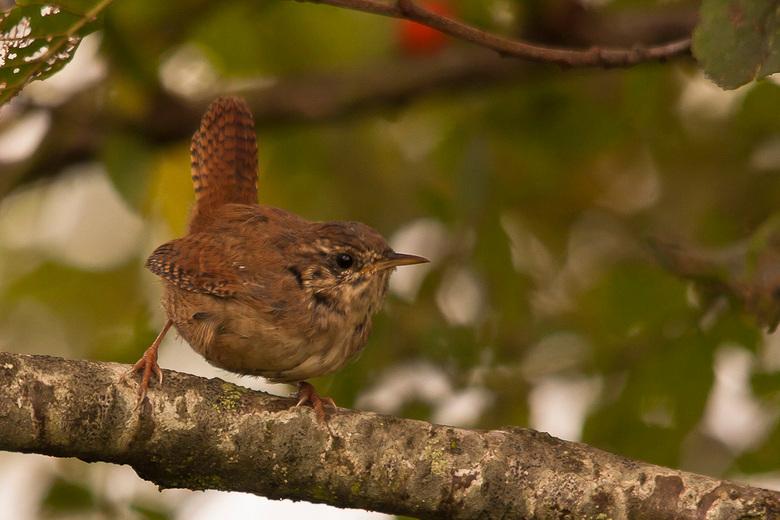 Winterkoning - Prachtige maar erg schuwe en zenuwachtige vogeltjes, ik had m al een tijdje gehoord en mn lens gericht op een takje, het duurde even vo