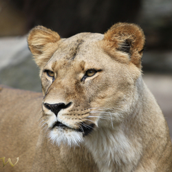 leeuwin uit Artis Amsterdam