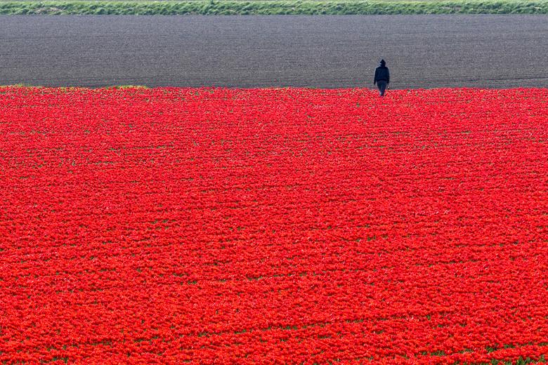 Lente 2020 - Toch ook maar even de bollen bezocht. Naar verluid zou Flevoland al meer hectares bloembollenvelden hebben dan de Randstad. Dit is nageno