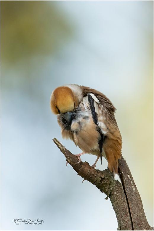 Schoon - Appelvink poetst de veren.