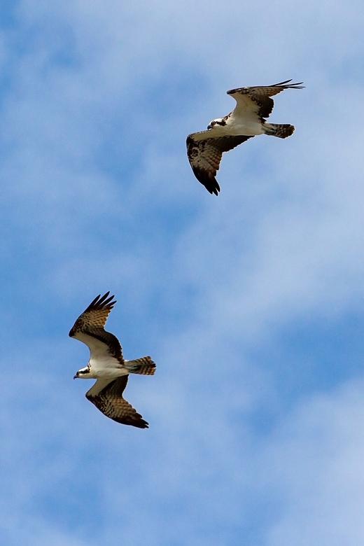 Samen sterk - Twee visarenden die schijnbaar op zoek zijn naar een prooi. Aangezien dit vlak langs het water is gefotografeerd, hoeven ze niet ver te