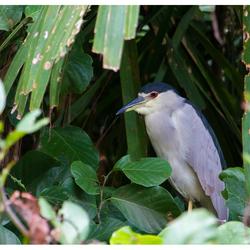 Kwak, Costa Rica