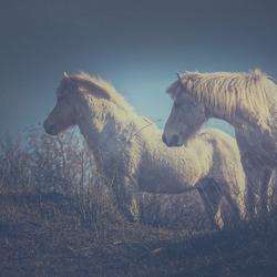 Ijslandse pony
