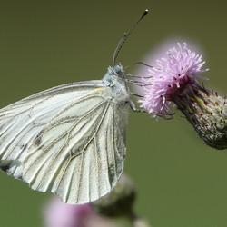Vlinder op akkerdistel