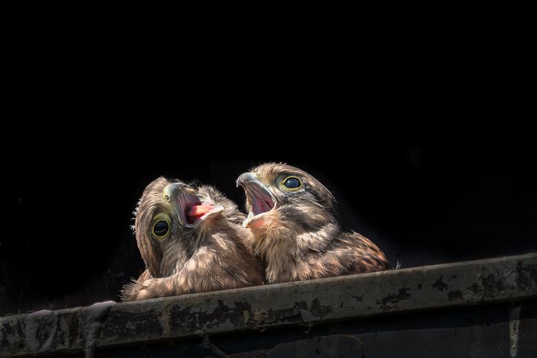 Zangpartij - Twee jonge torenvalken in hun nestkast op onze camping in Zeeland.