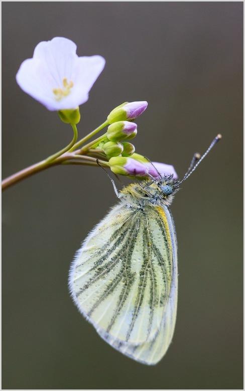 geaderd witje - Mijn eerste vlinder voor dit jaar. tussen de pinksterbloemen op zoek naar oranje tipjes kwam ik dit geaderd witje tegen. helaas nog ge