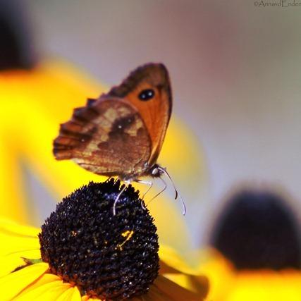 Le papillon - Vlindertje geniet van de zonnehoed in de Franse zon.