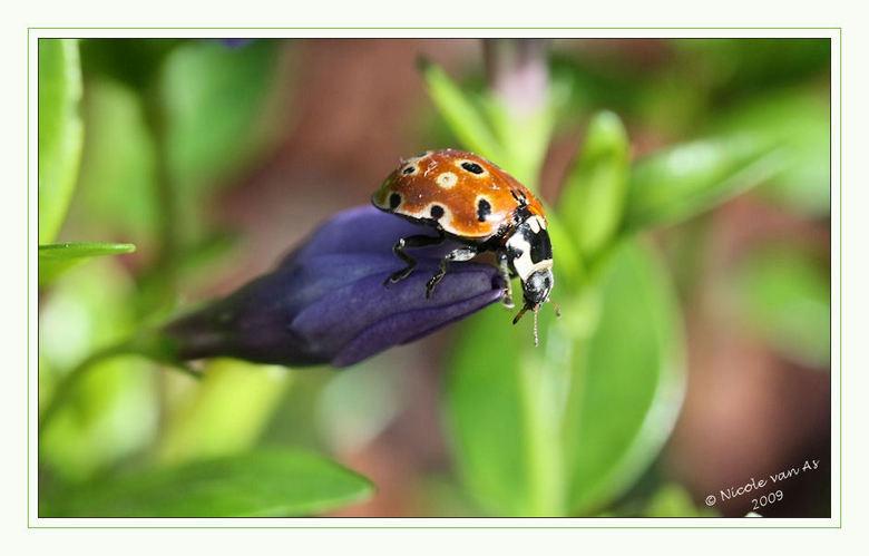 Oogvleklieveheersbeestje  V - Genieten van het warme zonnetje op de maagdenpalm in de tuin.<br /> <br /> <br /> <br /> Dank voor de leuke reactie&