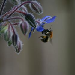 Bij zoekt nectar