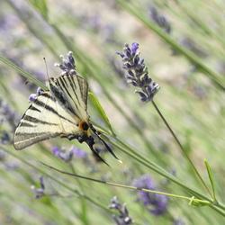 Vlinder-Lavendel-Kroatie-Labin