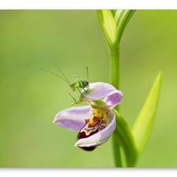Bijenorchis met struiksprinkhaan