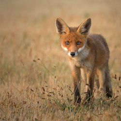 Another young fox
