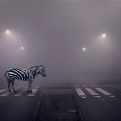 Zebra op een zebra