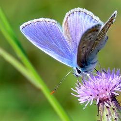 Icarus Blauwtje