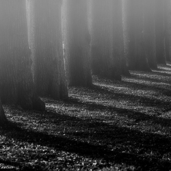 Trees in the fog!