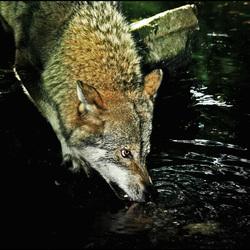 boze wolf......