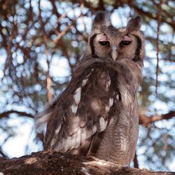 Verreaux's Eagle Owl, Kenia
