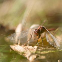 Libelle in de herst