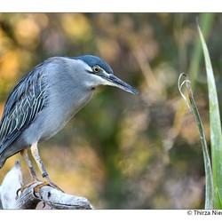 Straited Heron
