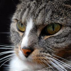 Close-up zwart poesje pic