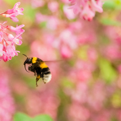 Hovering bumblebee