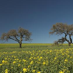 kale bomen in veld met koolzaad