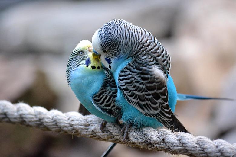Saves all your kisses for me. - Parkietenliefde in het Kasteelpark Born.