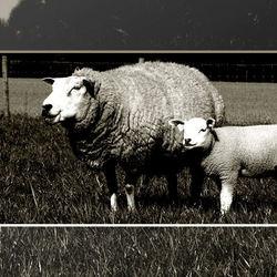 het zwarte schaap