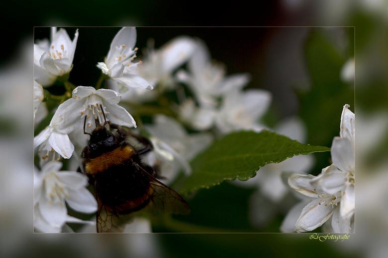 Bloem en Bij 2 - dit is nummer twee, Ook deze is niet 100% scherp,  omdat de bijen echt niet stil blijven zitten, het is leuk om te zien Het zijn echt