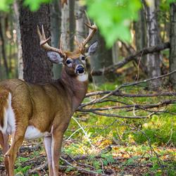 White-tailed deer in Hanlon