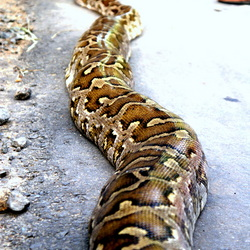 The Indian python