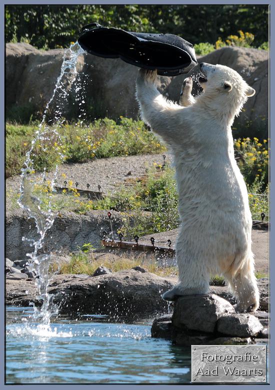 ijsbeerjong staand - vandaag was het ijsberenjong volop in beweging. en leefde zich uit op de emmer.