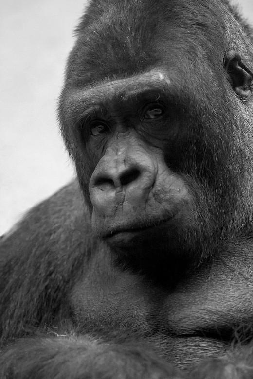 Gorilla zilverrug. - Foto is door het glas gemaakt in een binnenverblijf met niet veel licht.<br /> Zwar wit spreekt mij bij deze foto het meeste aan