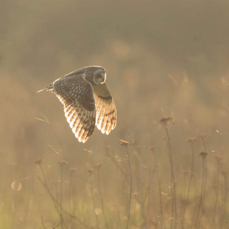Tegenlicht - Velduil in tegenlicht. Het licht schijnt mooi door de vleugels.