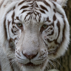 eyes of the (white) tiger
