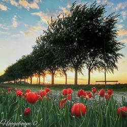 The last Tulips