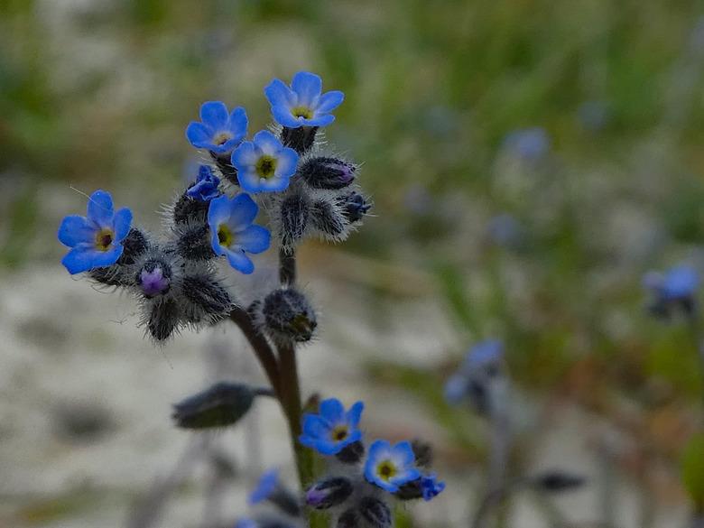 Blauwwwww - Tijdens wandeling in natuurgebied kooiduinen op Ameland, werden we gewezen op allerlei zeldzame plantjes. Dit minuscule blauwe bloemetje g