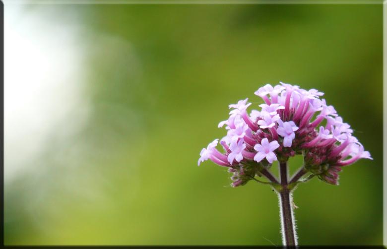 Eenzame bloem - Deze mooie bloem is een zeer mooie plant in mijn tuin, het enigste badeel is dat er heel van komen na verloop van tijd en dat je ze ov