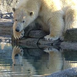 Dromerige ijsbeer