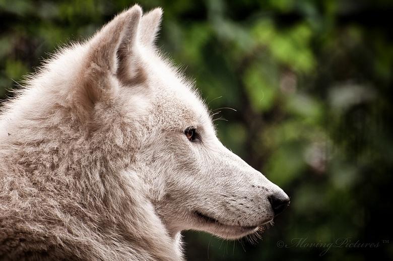 Wolf - Artis