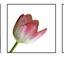 drieluik tulpen -1-
