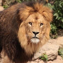 Artis leeuw